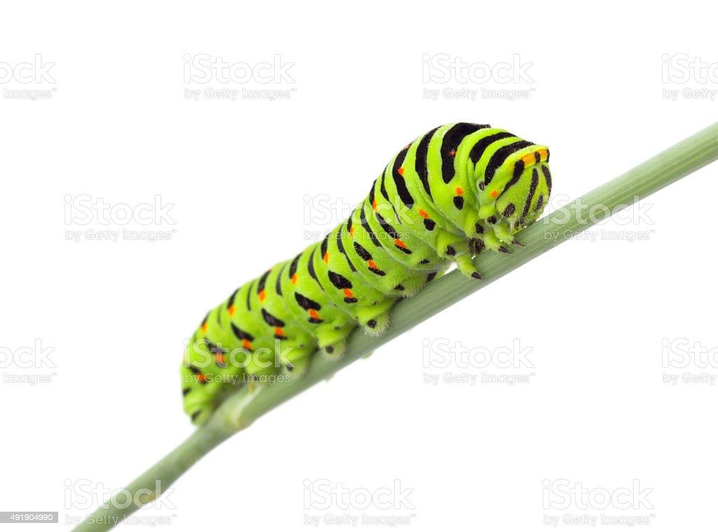 Macaão caterpillar - foto de acervo