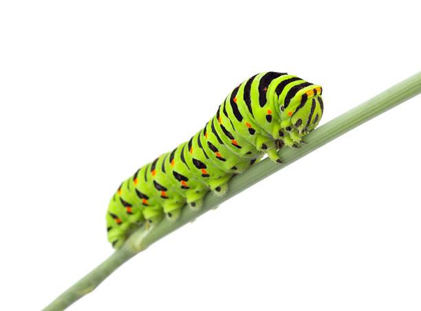 macaão caterpillar - lagarta - fotografias e filmes do acervo