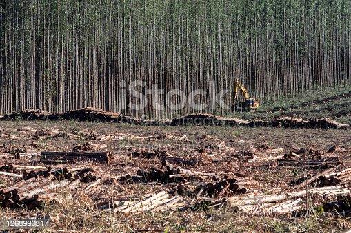 Cabralia Paulista, Sao Paulo, Brazil, August 01, 2020. Machine cuts eucalyptus for the pulp industry in Cabralia Paulista,, Sao Paulo state