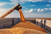 istock Machine for separating corn grains working on field and filling tractor trailer with corn. Autumn time. Husbandry concept. 1182664085