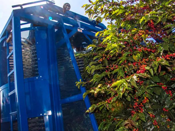 Machine harvesting coffe on field in Minas Gerais State stock photo