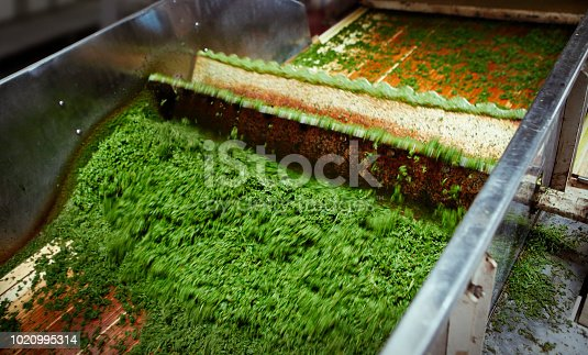 Detail of machine processing fresh green tea leaves