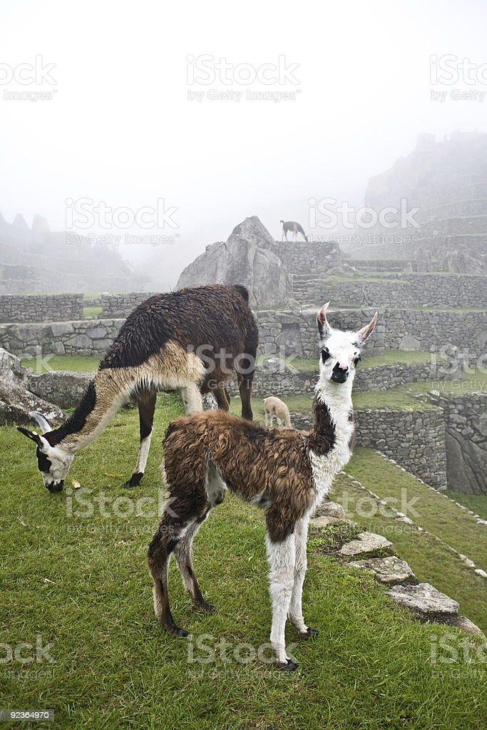 Machu Picchu Llamas royalty-free stock photo