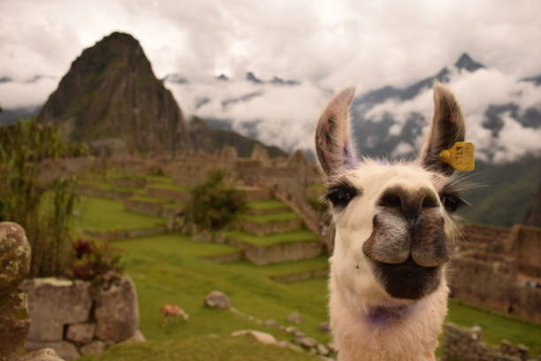 machu picchu  - lama kamelartige stock-fotos und bilder