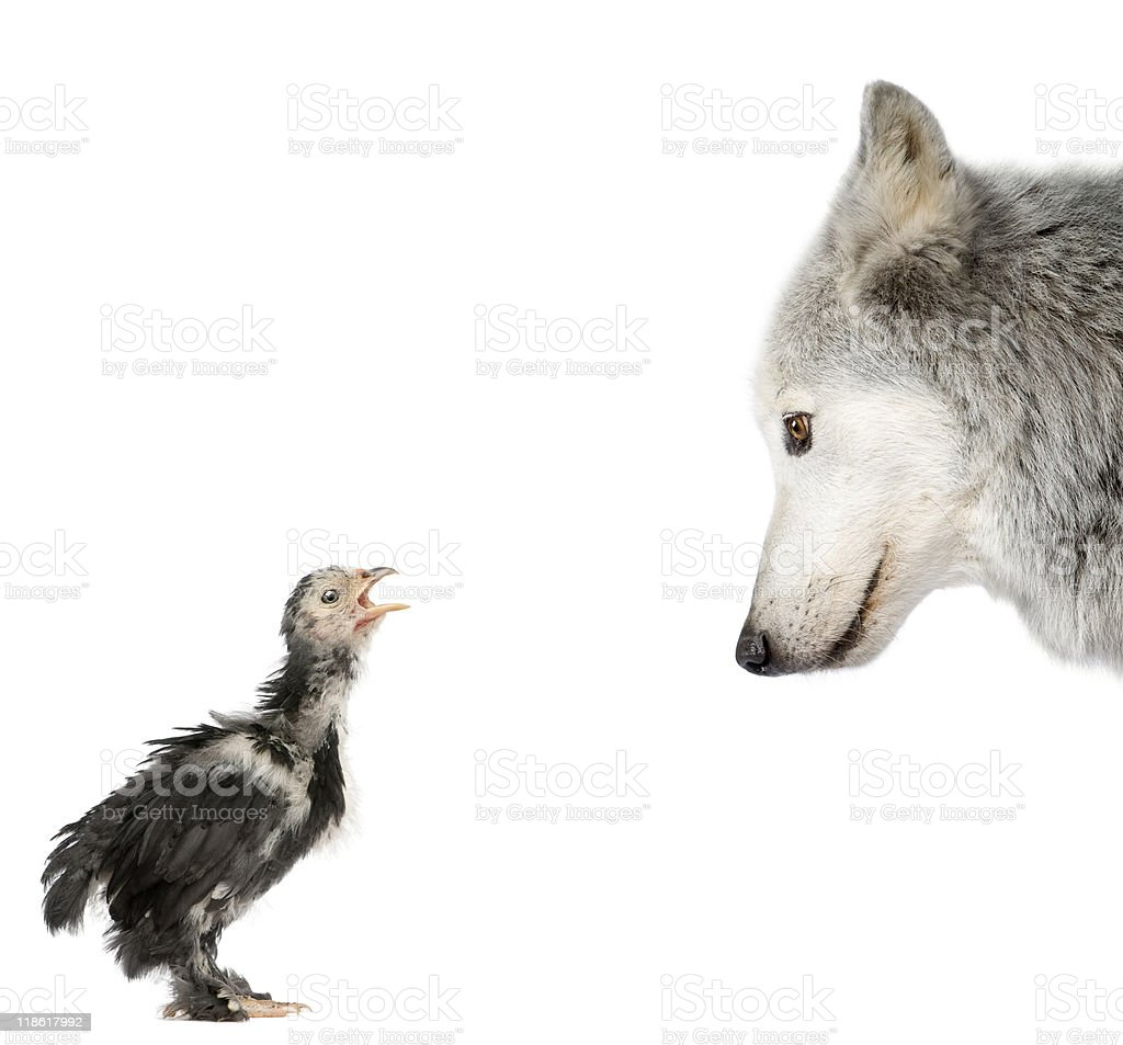 Mackenzie Valley Wolf looking at a chick against white background royalty-free stock photo