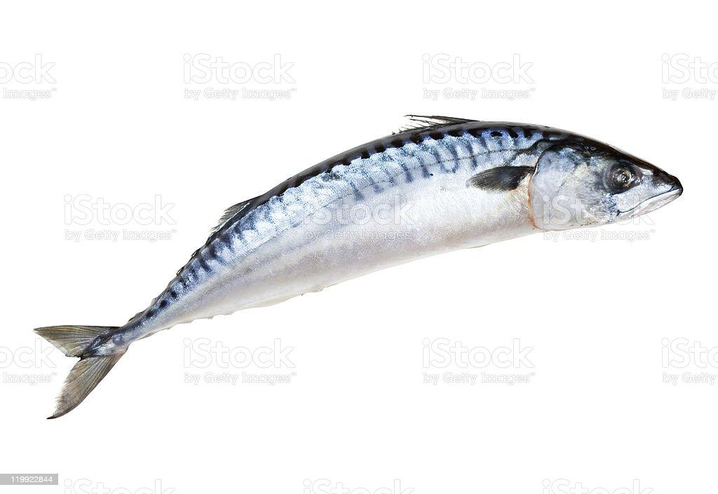 Mackerel fish isolated on white background royalty-free stock photo