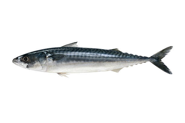 Makrele – Foto