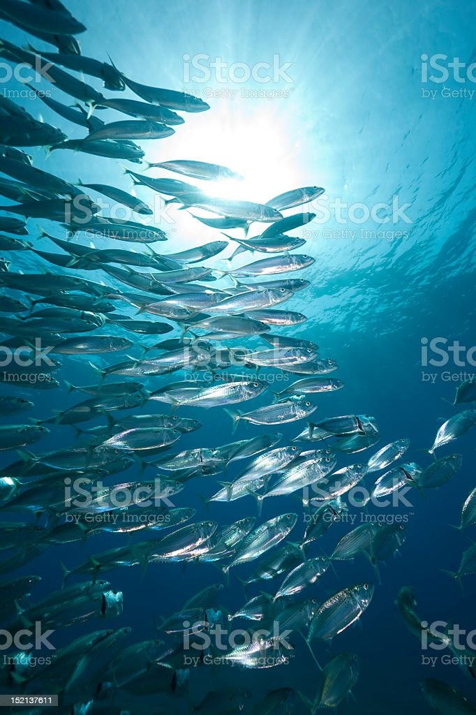 mackerel school feeding stock photo