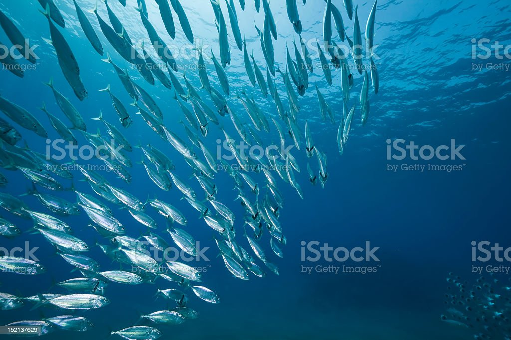 mackerel school feeding royalty-free stock photo