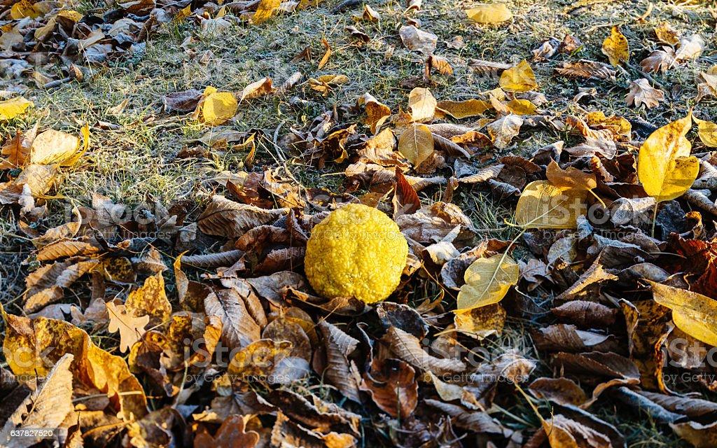 Maclura pomifera (known as Osage oranges) stock photo