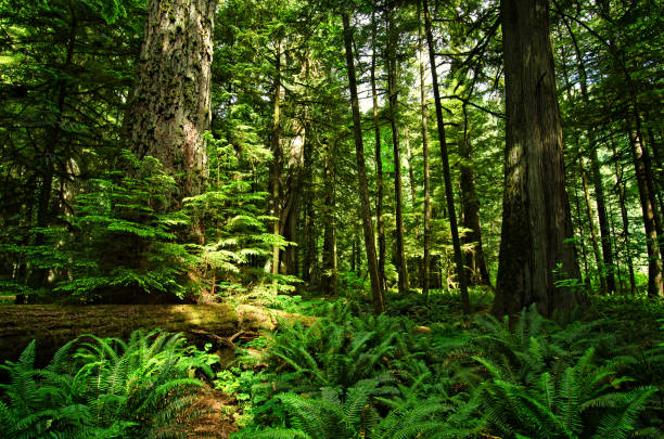 macmillan provincial park - cathedral grove - provincial park stock photos and pictures