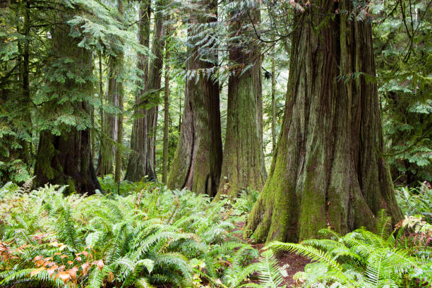 macmillan provincial park cathedral grove vancouver island - provincial park stock photos and pictures