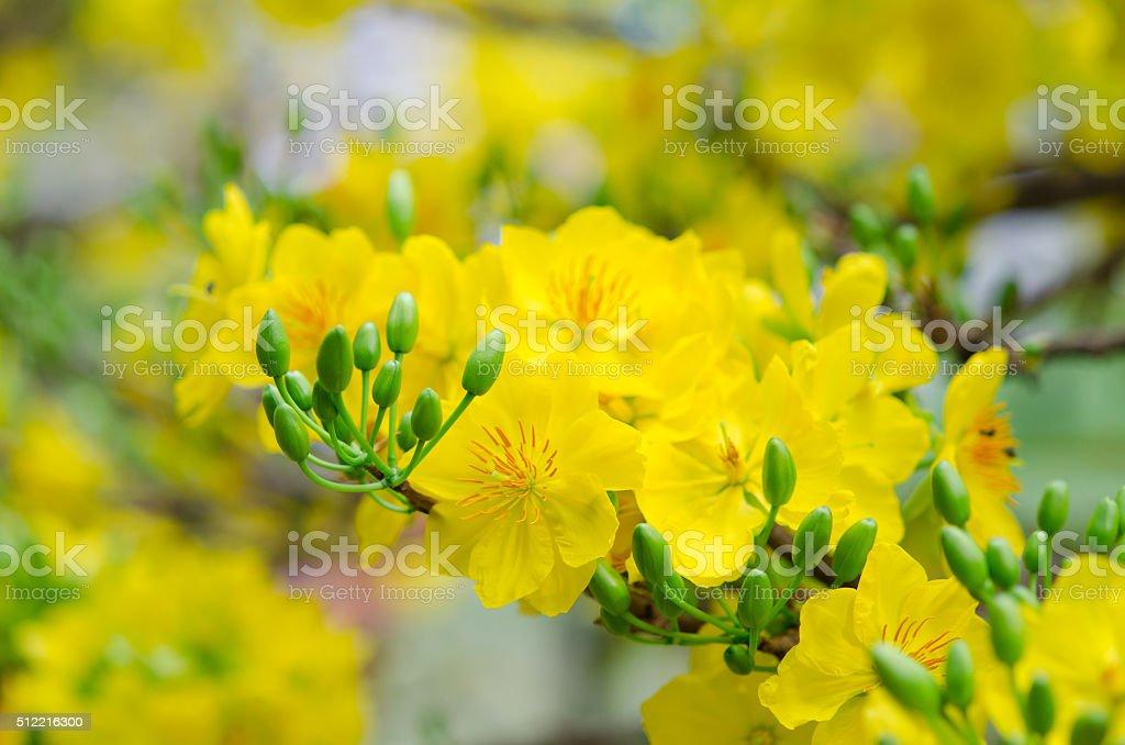 Macro a ochna integerrima integerrima branch stock photo