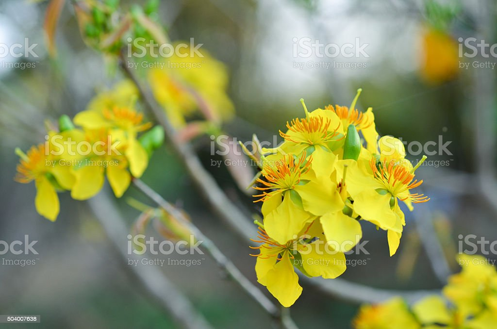 Macro a ochna integerrima integerrima branch, the flowers of tra stock photo