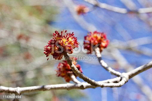 This macro abstract image shows emerging buds on a red maple tree in early spring.