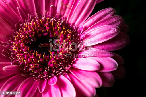 Extreme close up macro color image depicting the vibrant pink color of a fresh gerbera flower in bloom on a stark black background. Room for copy space.