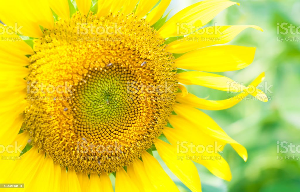 Macro and close up photo of golden yellow sunflower with green background stock photo