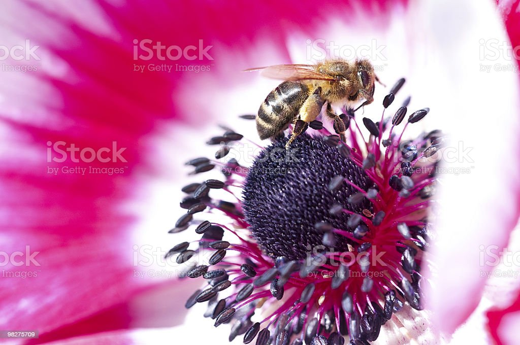 macro anemone flower with bee royalty-free stock photo