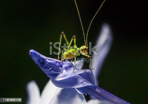 This epic macro image shows an interesting looking green baby cricket nymph insect bug on a lush purple blooming flower.