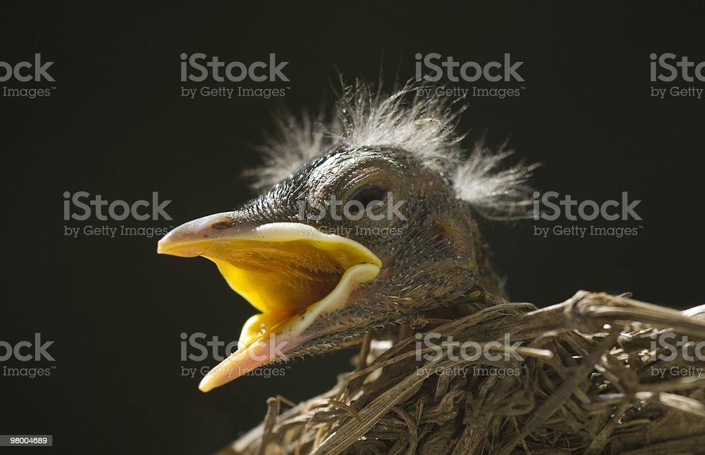 Macro Baby Robin in Nest royalty-free stock photo