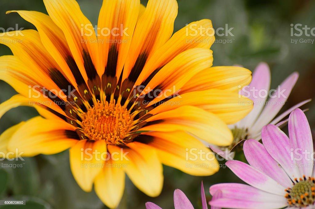 Macro background beautiful daisy flowers stock photo