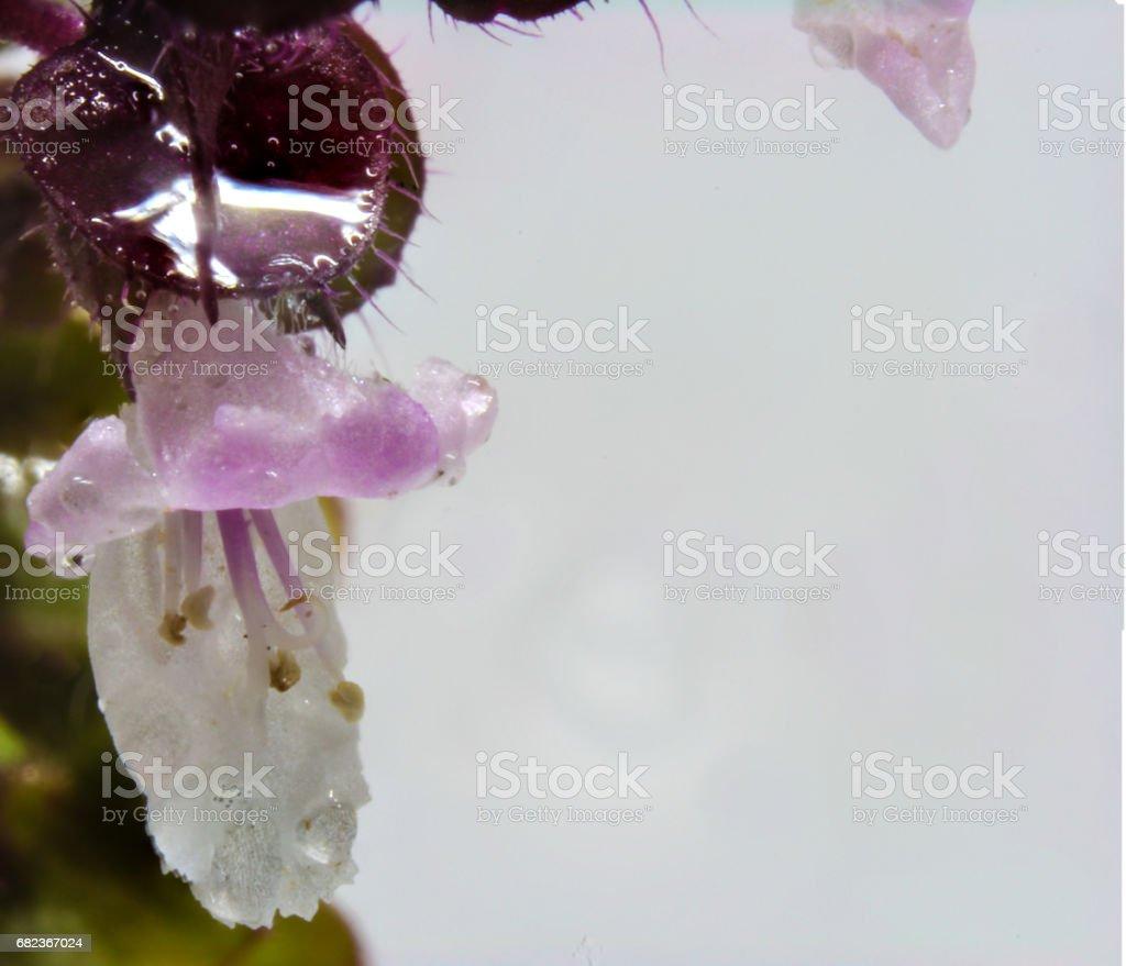 Macro basil flower foto stock royalty-free