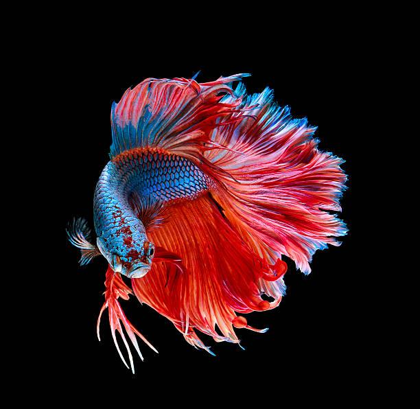 macro .battle fish stock photo