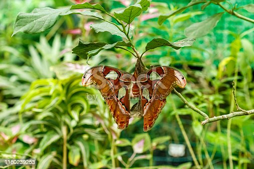 istock macro beautiful butterfly Attacus lorquin 1180239253