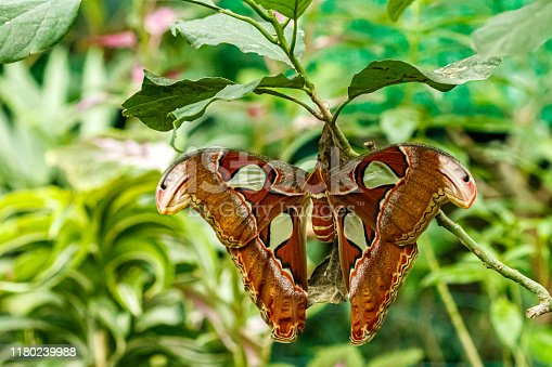 istock macro beautiful butterfly Attacus lorquin 1180239988