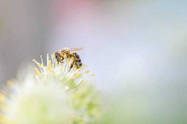 宏觀。 蜜蜂在一朵白花上採集花粉。水準照片。 - 蜂巢式樣 個照片及圖片檔