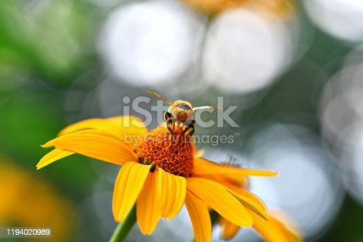 bee and bumblebee together in freedom on flower