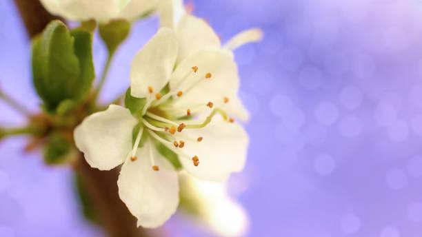 Macro blossomed white plum flower selectiv focus on a lilac wide picture id1232680227?b=1&k=6&m=1232680227&s=612x612&w=0&h=nb0nb7enn59jxnyndxhmygxfyvvlvsqslescqteier8=