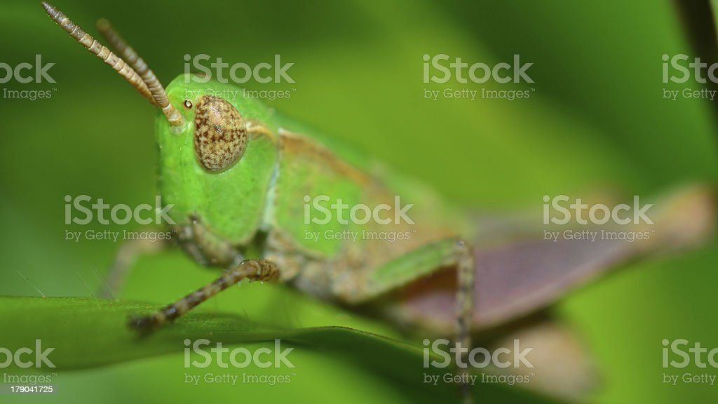 Macro Brazilian grasshopper (details) royalty-free stock photo