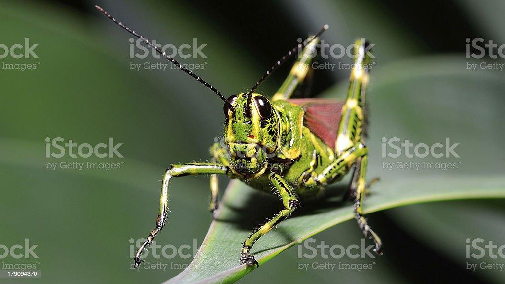 Macro Brazilian Grasshopper (frontal) royalty-free stock photo