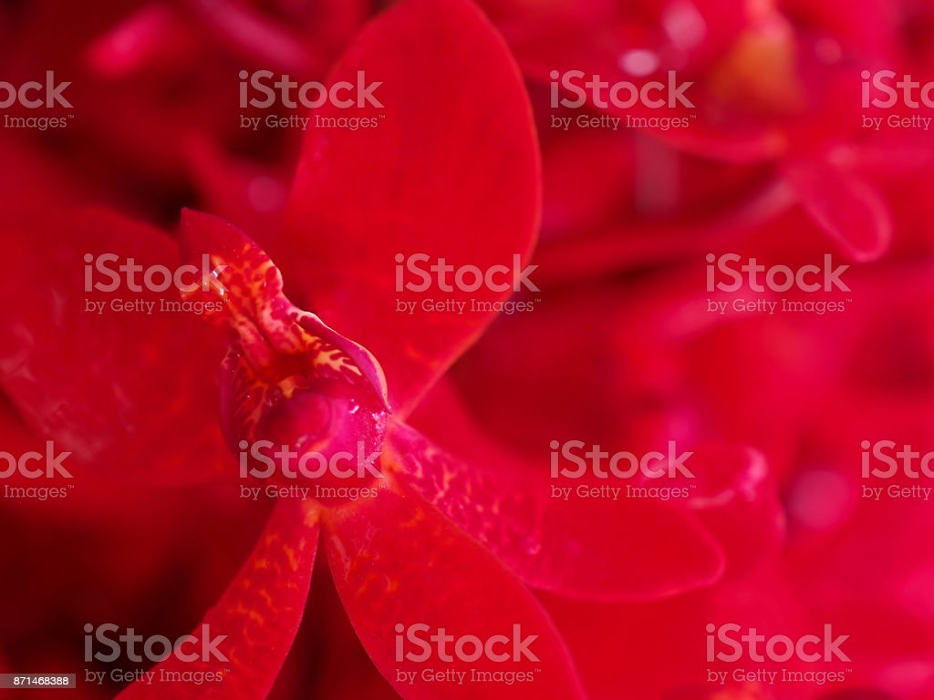 Macro bright red pink thin small Vanda orchid flower bunch background stock photo