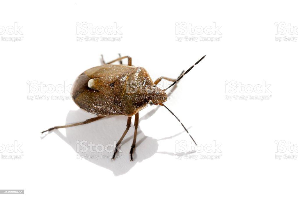 Isoliert Makro-Käfer – Foto