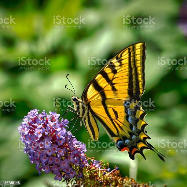 Macro butterfly twotailed swallowtail on purple flowers picture id157735146?b=1&k=6&m=157735146&s=612x612&h=ig0yijvfjegakffycrzapmlzvaerv1updx5jl4tqxyu=