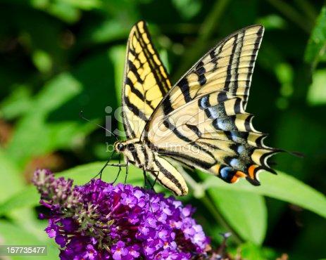 A macro shot of a butterfly on purple flowers