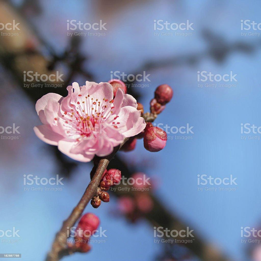 Macro Cherry Blossom royalty-free stock photo