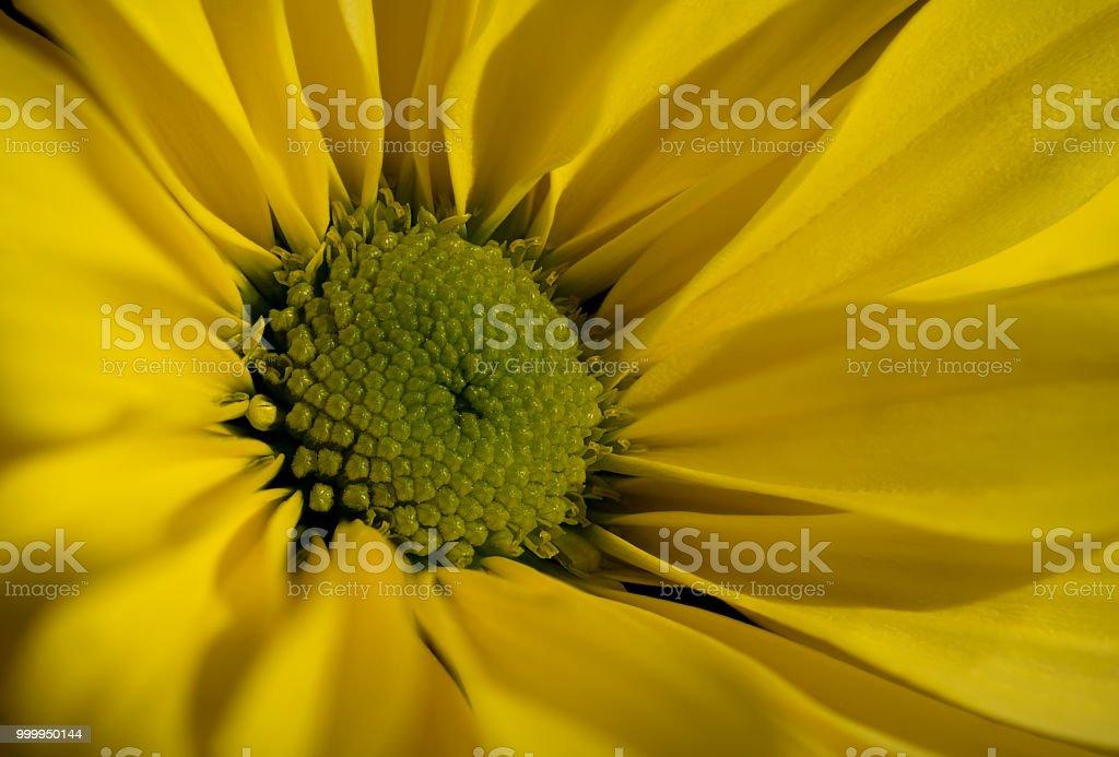 Macro Chrysanthemum. stock photo