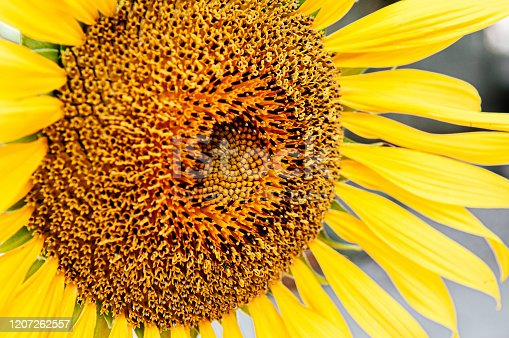 Macro close up details of golden yellow sunflower disk floret and ray floret petals. Nature plant background