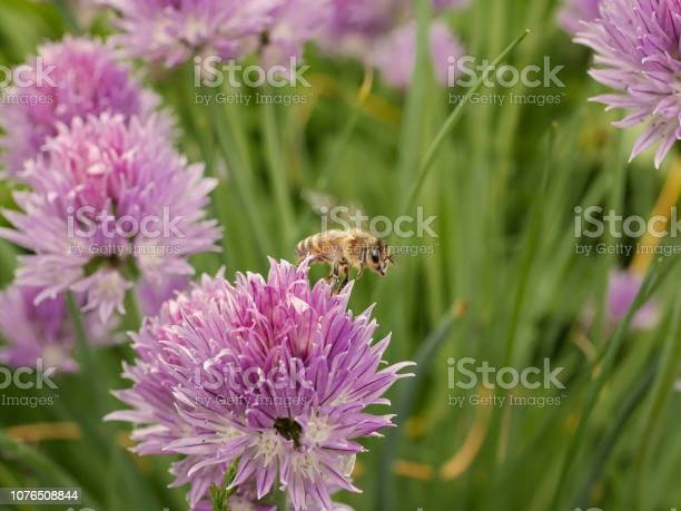 Photo of macro close up of an flying honey bee in colourful garden scene in summer