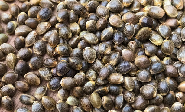 Macro close up of cannabis hemp seeds picture id1081352882?b=1&k=6&m=1081352882&s=612x612&w=0&h=wc21mrci5xy70lpvmaezqokrkpxmthxrv0i25uq25nq=