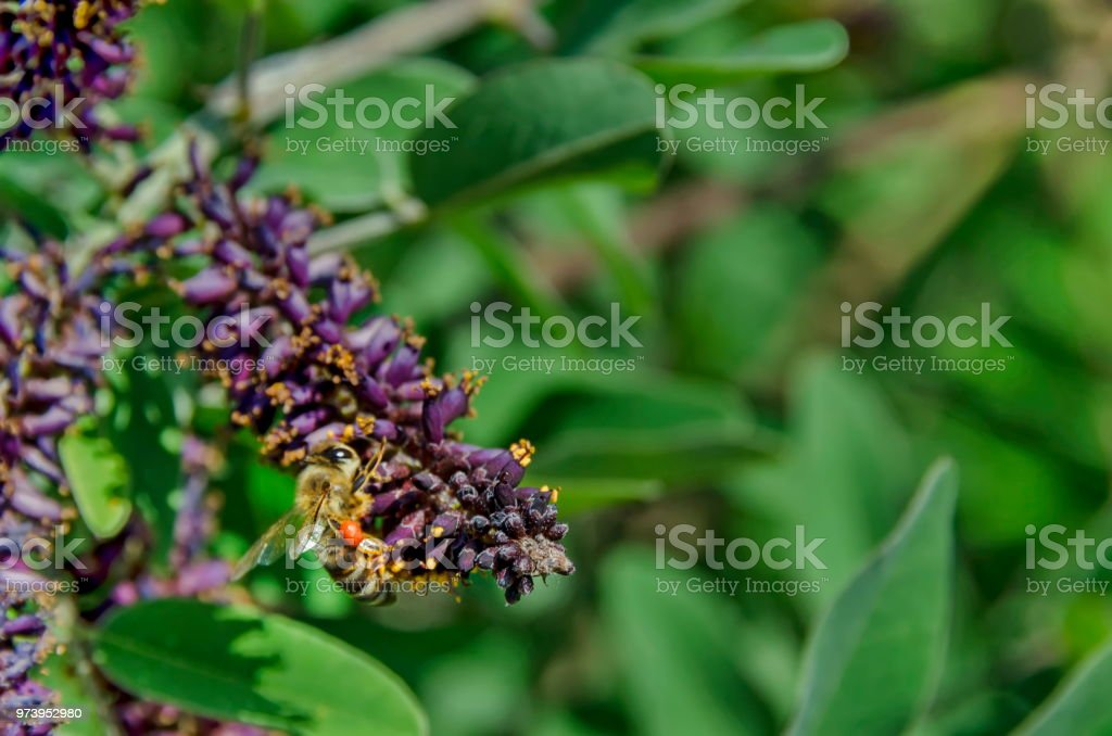 Macro close up of honey bee collecting pollen from purple flower stock photo