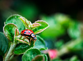 Extreme macro close up depicting a ladybird sitting on lush green leaves amid budding flowers in the garden. Plenty of room for copy space.