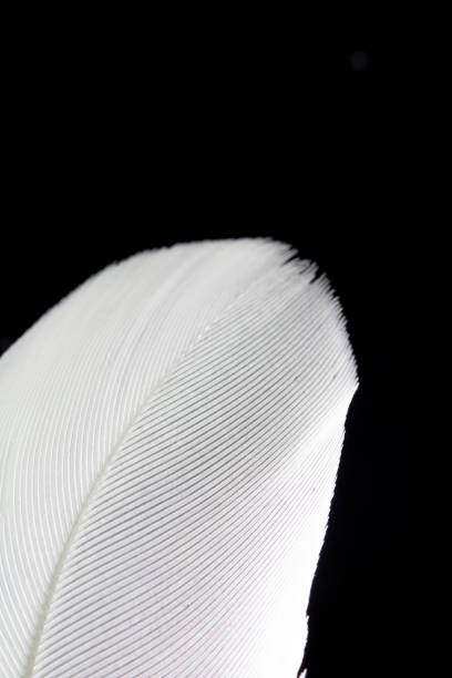Macro Close Up Of White Feather on Black Background stock photo