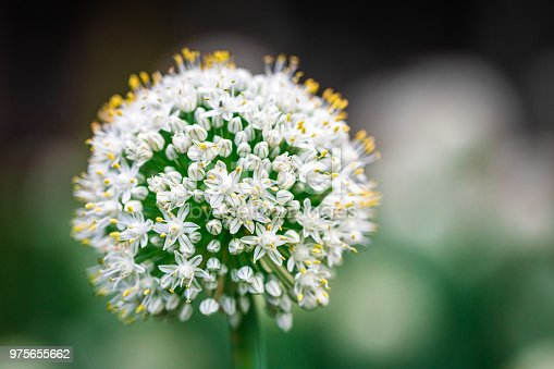 Extreme macro close up depicting white onion flowers growing in a vegetable garden. Focus is sharp on the head of the flowers, while the background consists of smooth green bokeh, allowing lots of room for copy space.