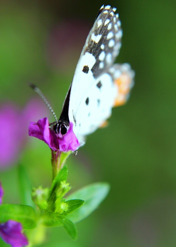 macro - close up view of a small white color butterfly - insect - on a small purple color flower in a home garden in Sri Lanka