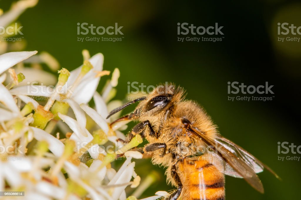 Macro, close-up - bee full of pollen collecting nectar royalty-free stock photo