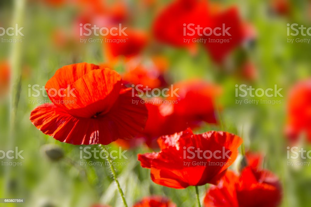 A macro closeup of a beautiful poppy Papaver flower with unfocused poppies behind stock photo